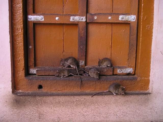 Rats bruns les plus répandus